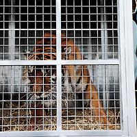 Frankrijk Lieusaint,21 mei 2015.<br /> Stichting AAP die zich inzet voor opvang en welzijn van verwaarloosde dieren waaronder diverse apensoorten haalt nu verwaarloosde 2 tijgers en 2 leeuwen op bij een failliete circus in het plaatsje Lieusaint in de buurt van Parijs om ze vervolgens een betere toekomst te geven in opvangcentrum Primadomus in de buurt van Alicante Spanje.<br /> Op de foto: 1 vas tijgers die bijna was overleden na de verdoving alvorens te worden getransporteerd naar exotische dierenopvang Primadomus in Spanje.<br /> Foto: Jean-Pierre Jans