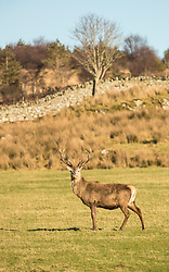A stag close to Tarbert Bay on the Isle of Jura