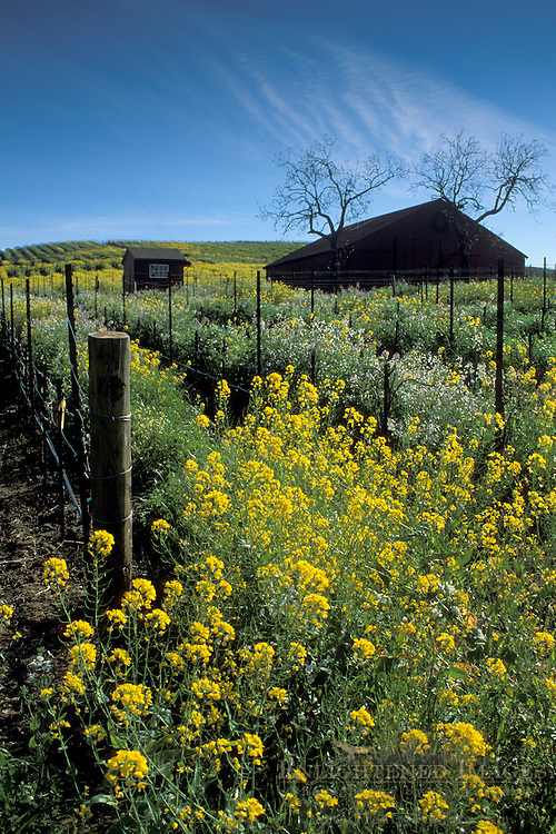 Vineyard filled with Mustard flowers in spring, Carneros Region, Napa Valley Wine Country, California