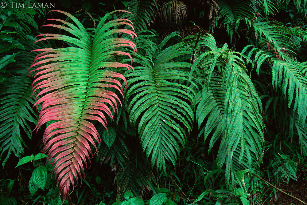 Fern (Blechnum orientale) growing in the rain forest of Taveuni Island, Fiji.