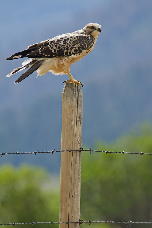 A swainson's hawk perches on a fencepost to get a better view of his surroundings.  This slender prairie hawk hunts small mammals and insects in the grassy meadows of Montana and Wyoming.