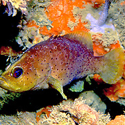Slope Soapfish inhabit deep slopes and walls in Tropical West Atlantic; picture taken Venezuela.