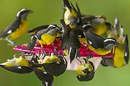Bananaquits (Coereba flaveola) swarm a hummingbird feeder in Trinidad.