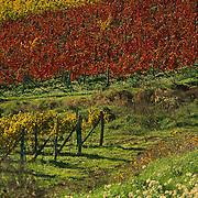 Colorfull vineyards