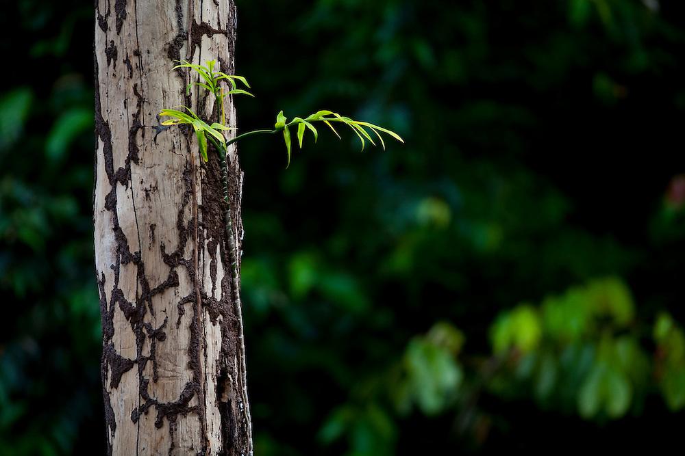 Parauapebas_PA, Brasil...Vegetacao da floresta Nacional dos Carajas, Para. Na foto detalhe do tronco de uma arvore. . .Carajas National Forest Vegetation , Para. In the photo, detail of the trunk of a tree...Foto: JOAO MARCOS ROSA / NITRO.