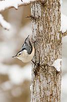 White-breasted nuthatch Sitta carolinensis