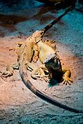 Iguanas The Aquarium Berlin in the Berlin Zoological Gardens, Berlin, Germany