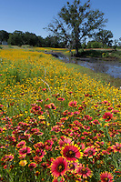 Bitterweed, (Helenium amarum) with Indian Blankets, Llano County, Texas