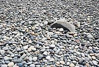 Rocks on the shore of Whitehorn County Park, Whatcom County, Washington, USA.