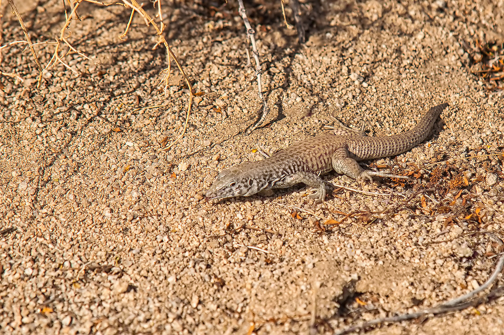 The Great Basin whiptail (Aspidoscelis tigris tigris) is a subspecies of the common western whiptail found in Southeastern California. Found throughout most of the American Southwest, whole populations of western whiptails tend to stay in the same region resulting in great variety of patterns, stripes, and spots based on geographic location across their range. This one was photographed in the Mojave Desert in Joshua Tree National Park.