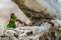 Harvester Ant, Pogonomyrmex sp. Photographer: Rick Avant<br />