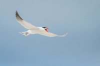 A Caspian Tern calls out in flight, De Hoop Marine Protected Area, Western Cape, South Africa