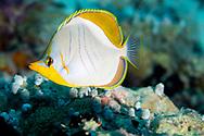 Yellowhead Butterflyfish, Chaetodon xanthocephalus, E. T. Bennett, 1833, Maldives