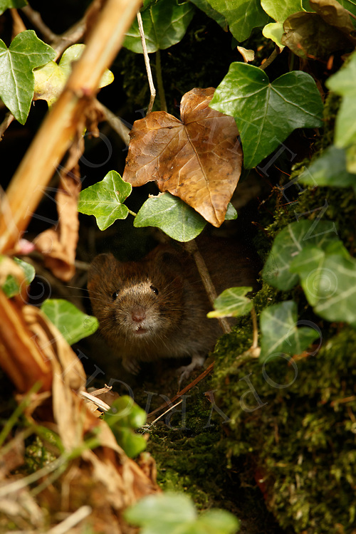 Bank Vole (Clethrionomys glareolus) adult emerging from ivy covered rubble, South Norfolk, UK. July.