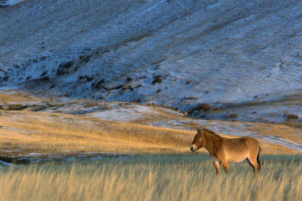Przewalski's Horse (Equus ferus przewalskii) in winter, Khustain Nuruu Nature Reserve, Mongolia