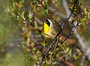 Common Yellowthroat (Geothlypis trichas) perched in a tree, Annapolis Royal Marsh, French Basin trail, Annapolis Royal, Nova Scotia, Canada