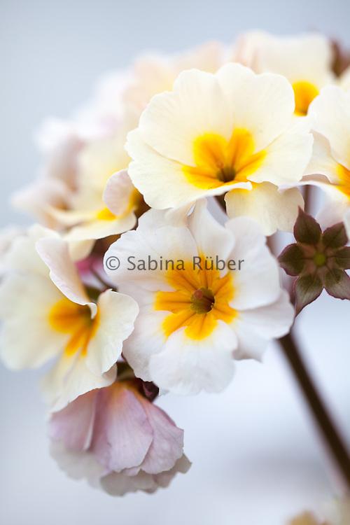 Polyanthus 'Primabella'