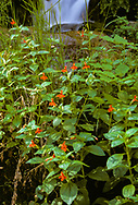 Scarlet monkey flower growing in group near the stream from big Spring, Zion Narrows, © 1990 David A. Ponton