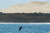 Bottlenose Dolphin leaping into the air with the Alexandria Dunefields in the background, Alexandria Dunefields,  Algoa Bay, Eastern Cape, South Africa