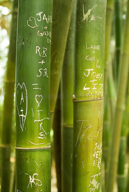 giant timber bamboo