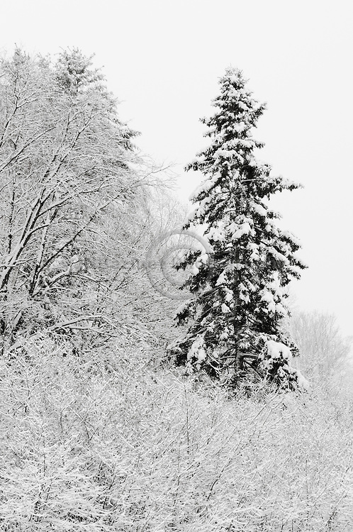 An evergreen stands out from a forest of snow covered trees
