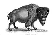 American Bison (American Buffalo) from General zoology, or, Systematic natural history Vol II Part 2 Mammalia, by Shaw, George, 1751-1813; Stephens, James Francis, 1792-1853; Heath, Charles, 1785-1848, engraver; Griffith, Mrs., engraver; Chappelow. Copperplate Printed in London in 1801 by G. Kearsley