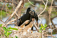 Anhinga chick being fed by male parent Wakodahatchee Wetlands Delray Beach Florida USA