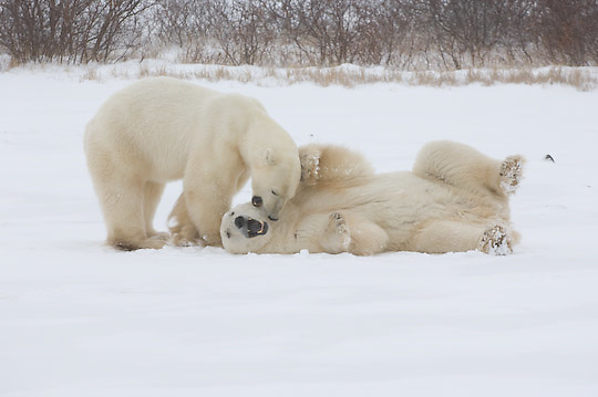 Polar Bear (Ursus mariimus) two large males play fighting. Churchill, Manitoba