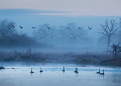 © Licensed to London News Pictures. 17/01/2017. Ripley, UK.  near Ripley. Geese on a misty River Wey near Ripley at first light. Cold temperatures are set to continue for most of the United Kingdom. Photo credit: Peter Macdiarmid/LNP