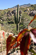 Temperatures remain warm on an Autumn day in the foothills of the Santa Catalina Mountains, Sonoran Desert Coronado National Forest, Catalina, Arizona, USA.