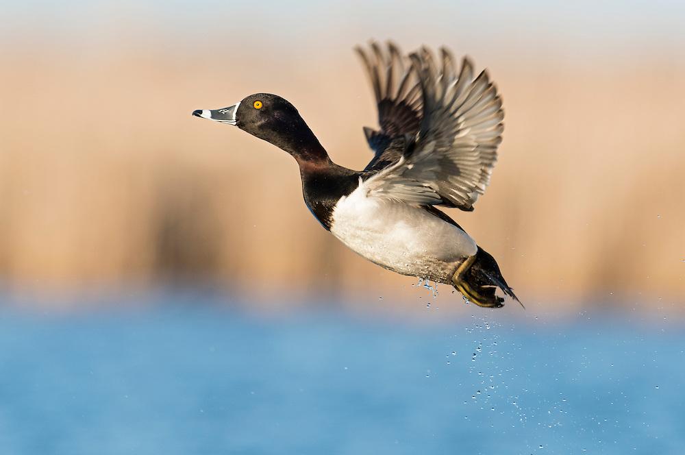 Ring-necked Duck, Aythya collaris, male, Harsen's Island, Michigan