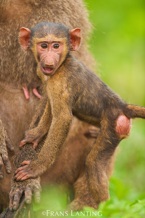 Baboon infant, Papio cynocephalus, Mole National Park, Ghana