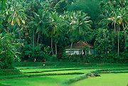 Rice crops growing in rice paddy fields in Sri Lanka
