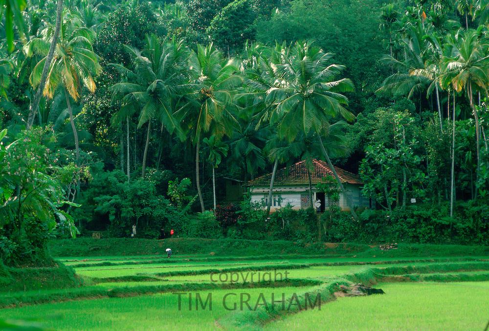 Rice crops growing in rice paddy fields in Sri Lanka