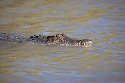 A saltwater crocodile surfaces in the Sale River on the Kimberley coast.