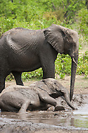Elephants taking a mud bath in the Kruger National Park, South Africa.