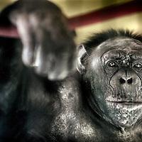 Nederland,Almere ,21 mei 2008..De Franse Chimpansee Fiffi, die ontdekt is op een zolder in Parijs waar ze meer dan 30 jaar vertoefd heeft..Fiffi zit momenteel in observatiehuis van Stichting Aap..French Chimpanzee Fiffi, who was discovered in an attic in Paris.