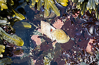 Dog whelks mating (Nucella Lapillus)