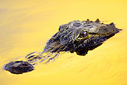An alligator comes up to the surface of a canal along Alligator Alley (I-75) in Florida, USA, June 15, 2005. The setting suns creates a look of yellow paint as it is reflected off the water. Braley/Stock
