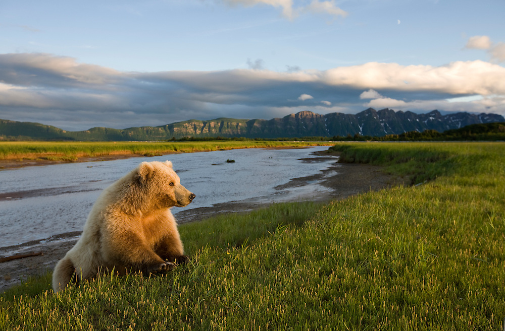 USA, Alaska, Katmai National Park, Brown Bear (Ursus arctos) along banks of small stream in meadow along Hallo Bay at sunset on summer evening