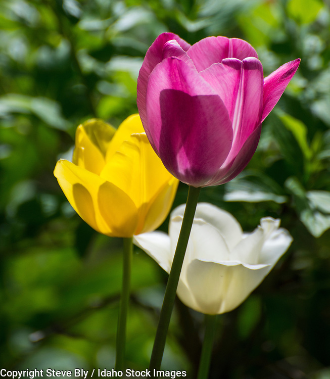 Flowers, Close-up of yellow, white and purple tulips against a floral background. USA