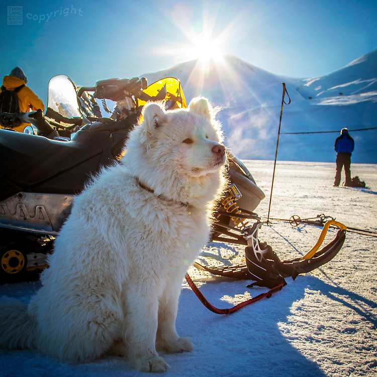 White husky in front of snowmobile in Svalbard, Norway during the 2015 total solar eclipse