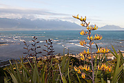 A flax in Kaikoura, with the Seaward Range in the distance, New Zealand.