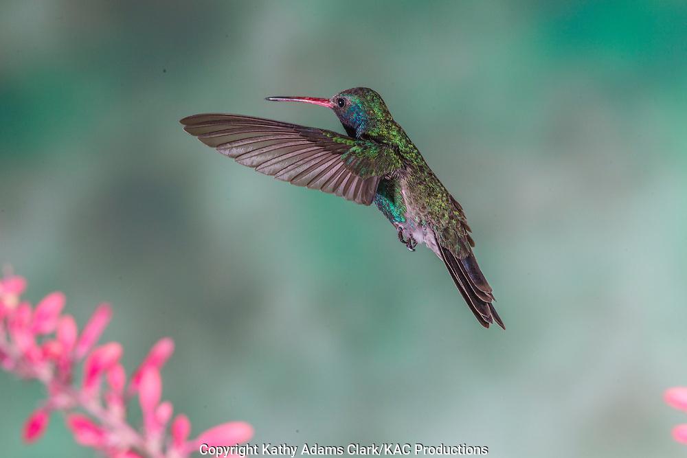 Broad-billed Hummingbird; Cynanthus latirostris;  feeding on red yucca, Sonoran Desert; Southern; Summer; Arizona;