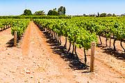 rows of grape vines on a vineyard near Waikare, South Australia, Australia