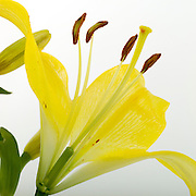 Reproductive parts of a lily in cross-section for pollenation:  stamen, pistil, ovary:  stamen, pistil, ovary