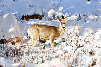 Mule Deer and the Black-Billed Magpie in the snow, RMNP