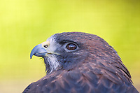 Captive Swainson's Hawk, Buteo swainsoni at the Alaska Raptor Center in Sitka, Alaska.