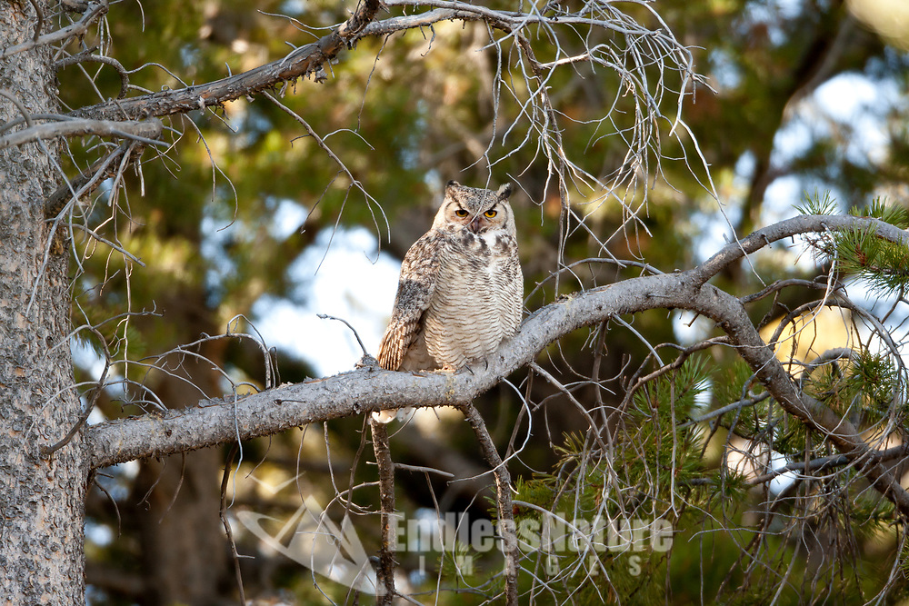 A Wyoming Great Horned Owl resting among the pine trees overlooking a meadow.