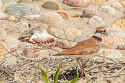 Interactions between Piping Plovers abd Killdeers proctecting young or nest